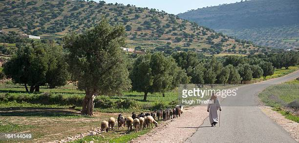 Argan trees and shepherd with flock in Morocco