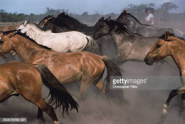 Argentina, gaucho herding galloping horses on ranch
