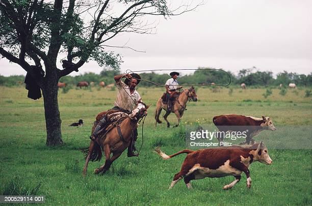 Argentina, gaucho lassoing cattle in field