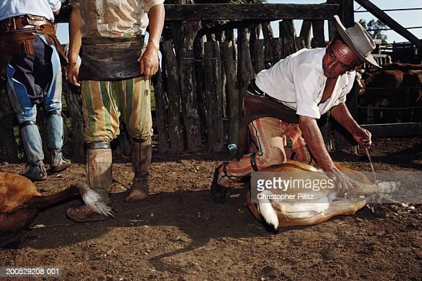 Argentina, gaucho roping calf on ground