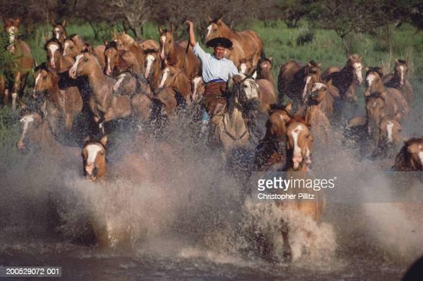 Argentina, horseman herding horses across river