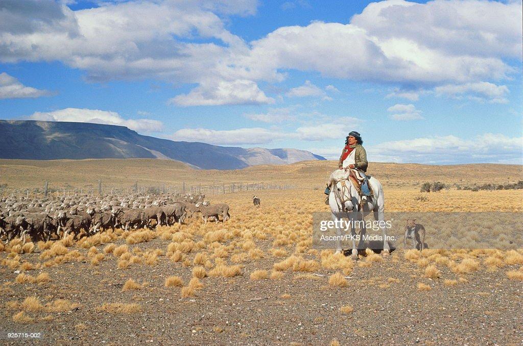 Argentina, Patagonia, gaucho herding sheep on the pampas. : Stock Photo