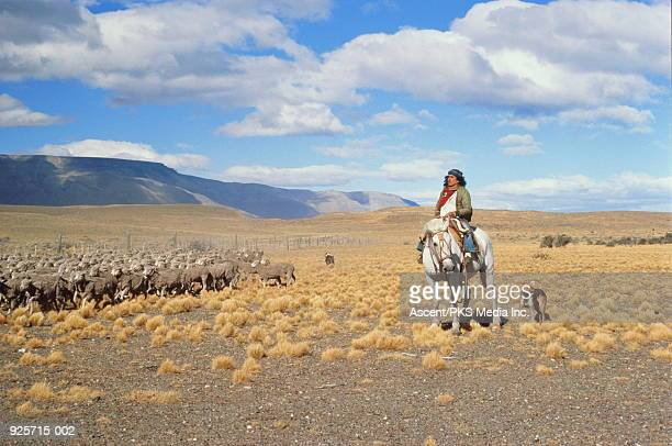 Argentina, Patagonia, gaucho herding sheep on the pampas.