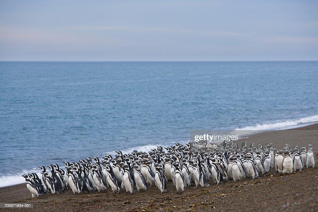 Argentina, Patagonia, Valdes Peninsula, magellanic penguins on beach : Stock Photo