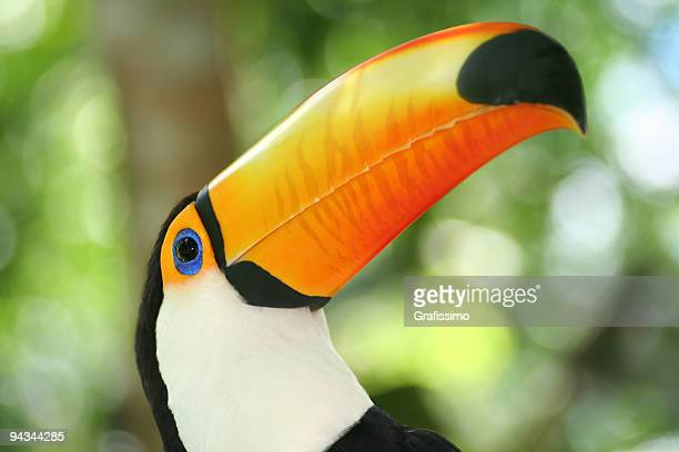 Argentina rain forest head of a toucan