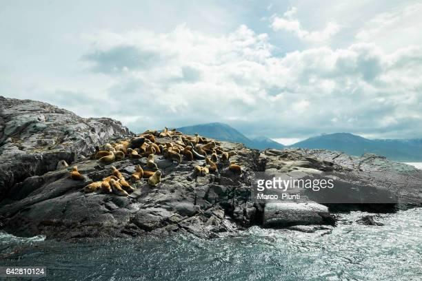 Argentinien Ushuaia Seelöwen auf einer Insel in den Beagle-Kanal