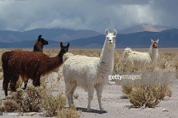 Argentina, Wild lamas in plain