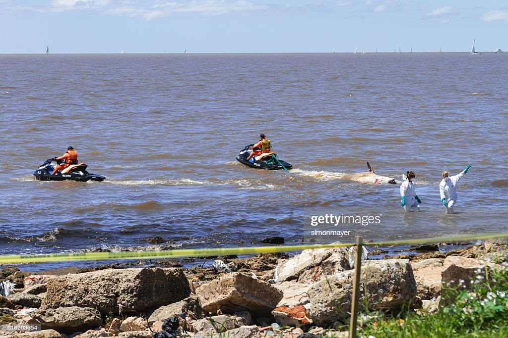 Argentinian prefecture officials carry a dead ziphiid : Stock Photo