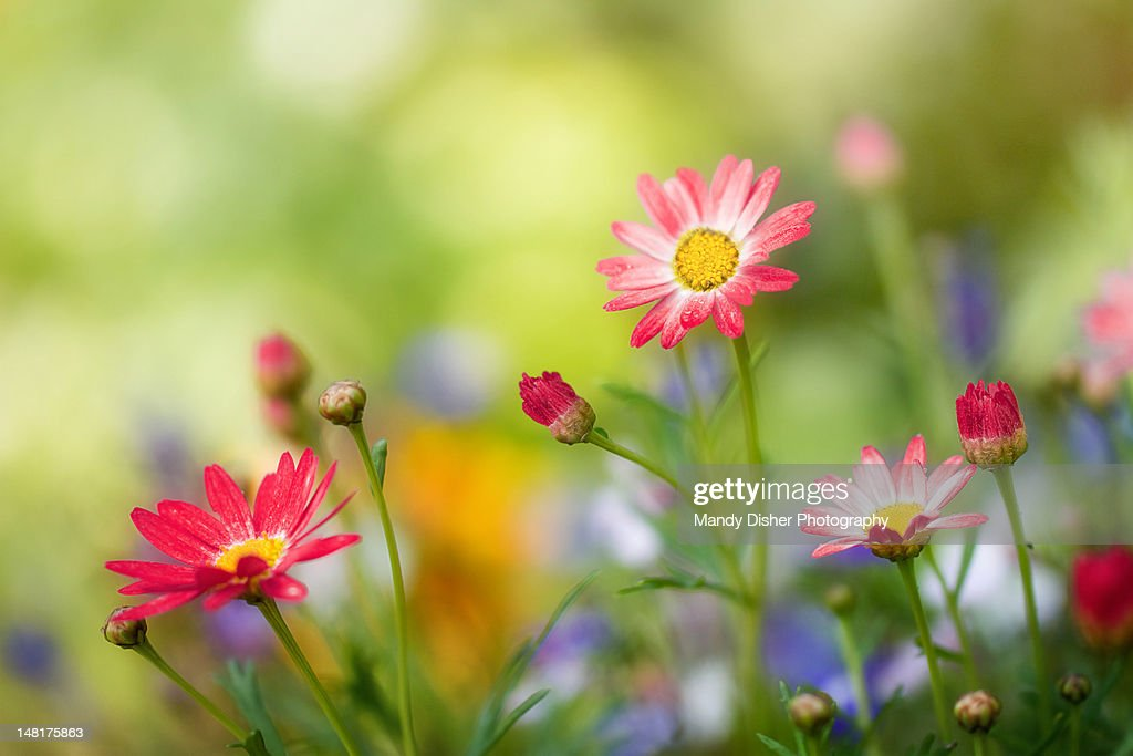 Argyranthemums : Stock Photo