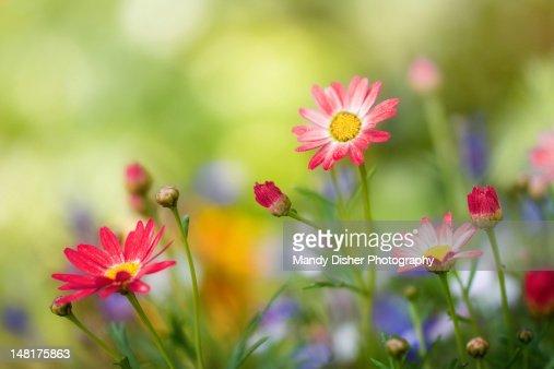 Argyranthemums : Foto de stock