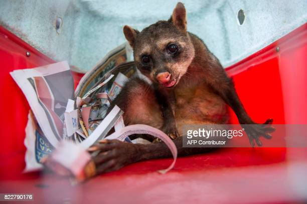 Ariel an old raccoon is transported in a cage to the Ibama's Animal Recovery Center in Seropedica state of Rio de Janeiro Brazil on July 18 2017 Wild...