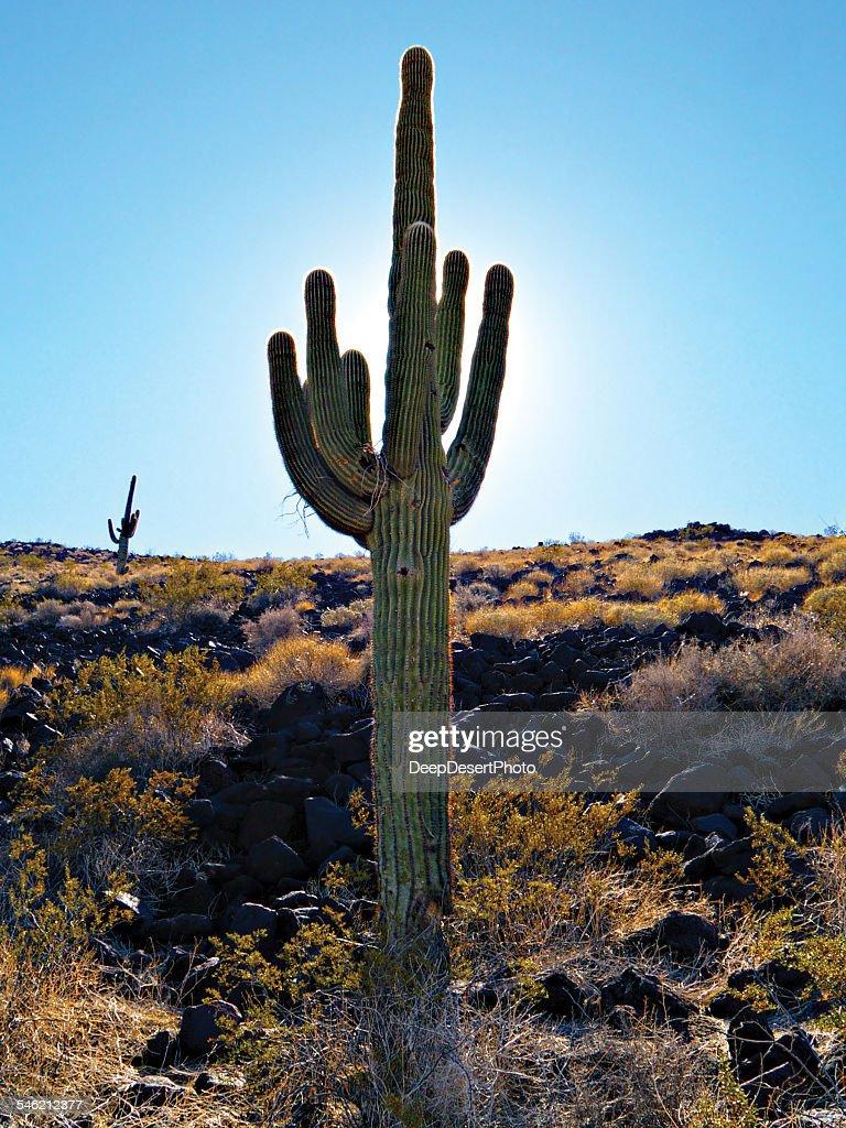 USA, Arizona, Cactus in desert at sunny day