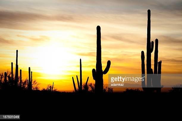 Arizona Desert Cactus Sagauro Sunset