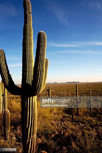 Arizona desert life Saguaro Cactus
