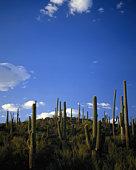 USA, Arizona, Saguaro National Monument, Saguaros on hillside