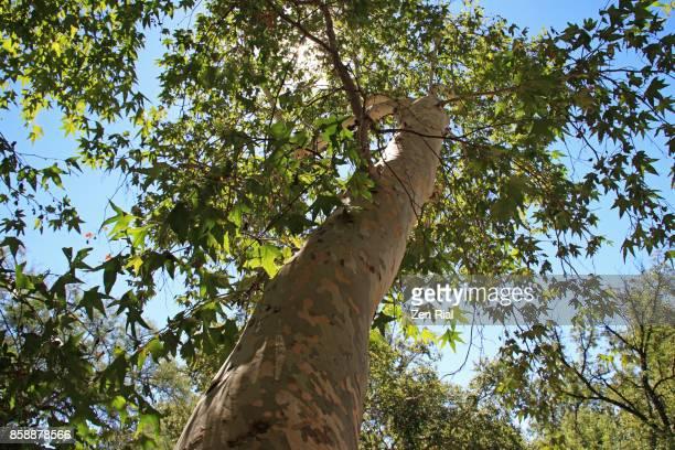 Arizona Sycamore tree - Platanus wrightii