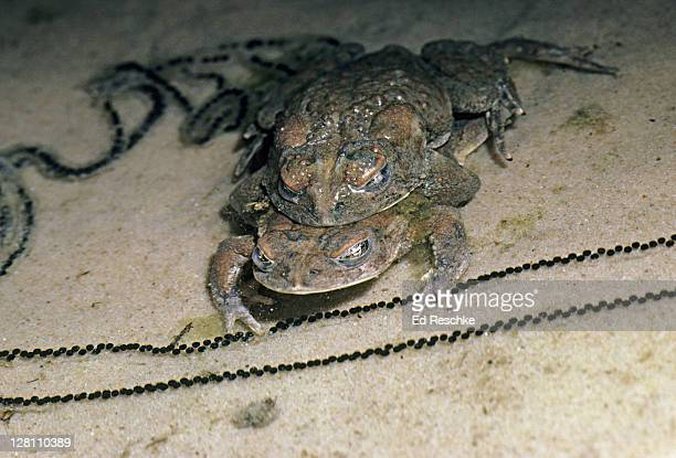 Arizona Toads (Southwestern Toads), Bufo microscaphus, in amplexus with strings of eggs surrounding them. The female releases eggs and the male releases sperm simultaneously into the water. External fertilization. Zion National Park, Utah. USA