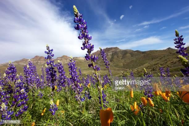 Arizona Wildflowers in the sun