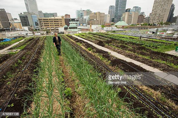 Arlene Throness urban agricultural coordinator at Ryerson University walks between rows of garlic being grown on the roof at the George Vari...