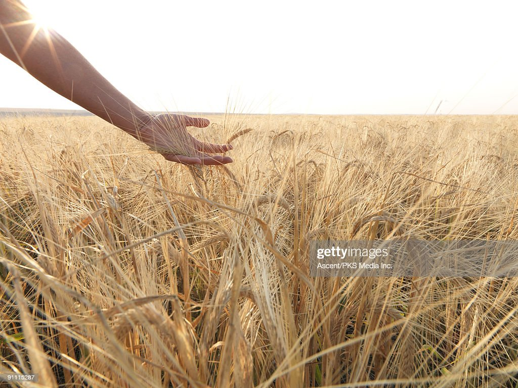 Arm sweeps across field of grain,ready for harvest : Stock Photo