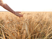 Arm sweeps across field of grain,ready for harvest