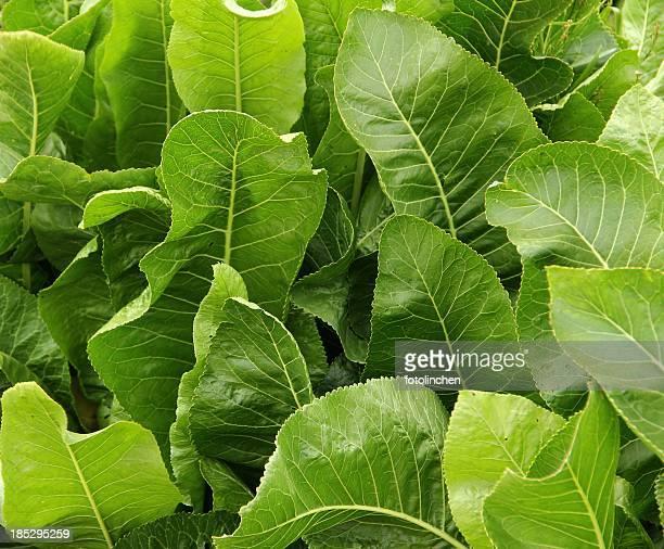 Armoracia rusticana - horseradish