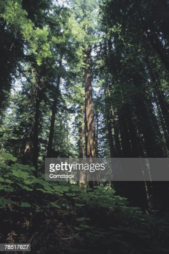 Armstrong Redwoods State Park , California : Stock Photo