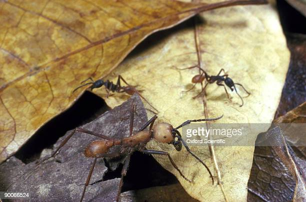 army ants eciton burchelli with solider ants guarding trail. trinidad