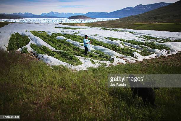 Arnaq Egede stands among the plants in her family's potato farm on July 31 2013 in Qaqortoq Greenland The farm the largest in Greenland has seen an...