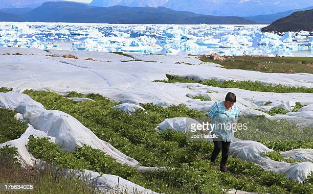 Arnaq Egede works among the plants in her family's potato farm on July 31 2013 in Qaqortoq Greenland The farm the largest in Greenland has seen an...