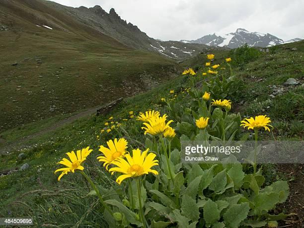 Arnica alpine flowers