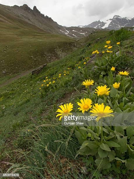 Arnica, alpine wildflowers