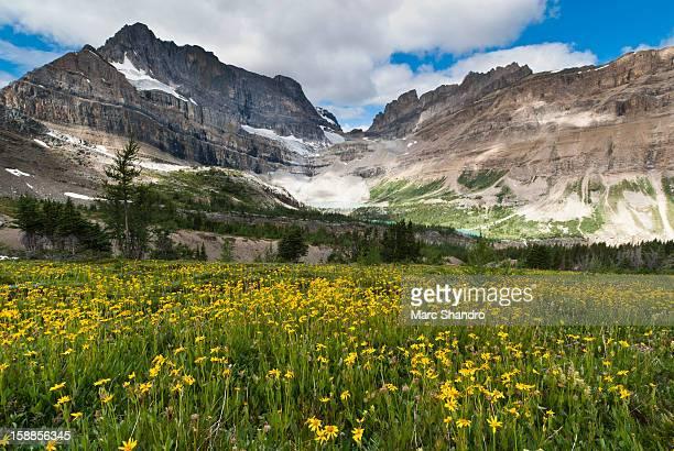 Arnica Field Canadian Rockies