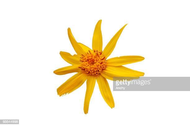 Arnika Blume Blüte