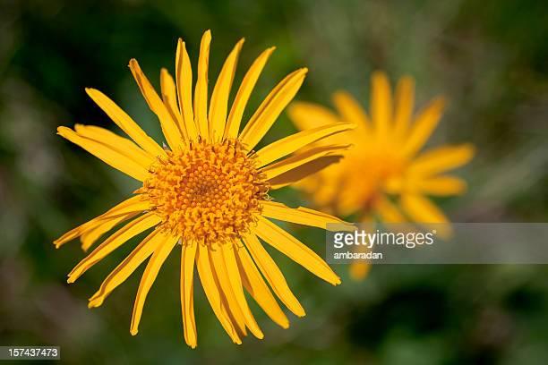 Arnika Blume