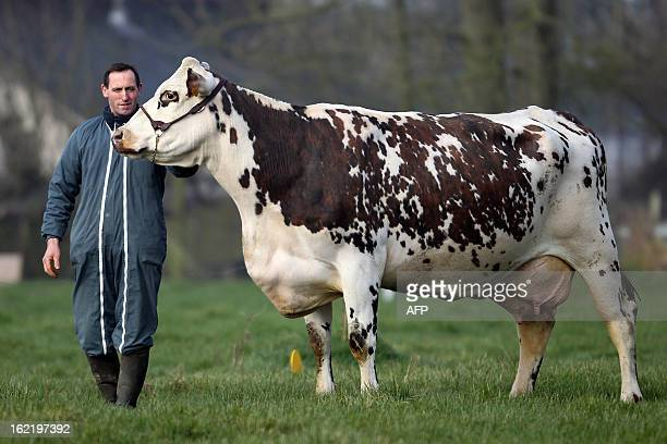 Aronde a Normande cattle breed chosen as the official mascott of the next Paris' International Agriculture Fair is pictured with its breeder Matthieu...