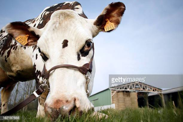Aronde a Normande cattle breed chosen as the official mascott of the next Paris' International Agriculture Fair is pictured on February 20 2013 in...