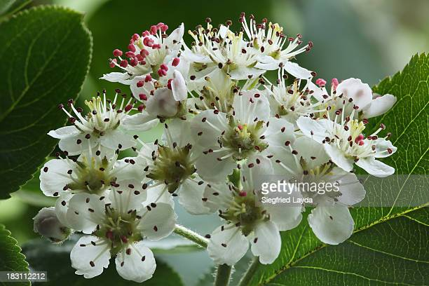 Aronia blossoms