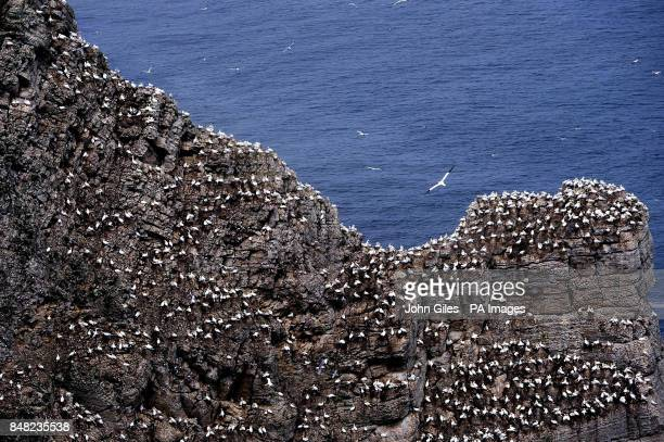 Around 250000 seabirds including Gannets crowd the cliffs at the RSPB Nature Reserve at Bempton Cliffs near Bridlington where Kittiwakes Razorbills...