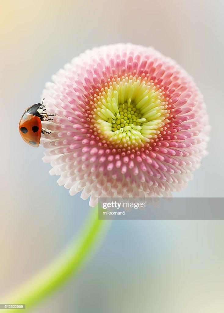 Around the daisy