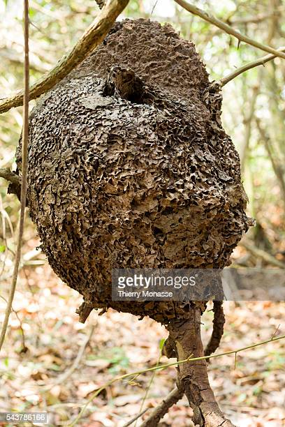arque Nacional Natural Tayrona Magdalena State Colombia An arboreal termite nest in Tayrona National Natural Park The Tayrona National Natural Park...