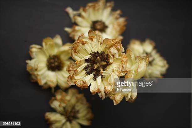 Arrangement of dead peony flowers