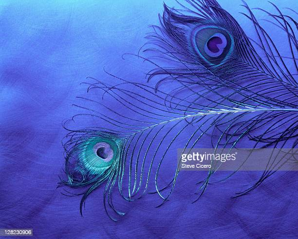 Arrangement of peacock feathers on blue background