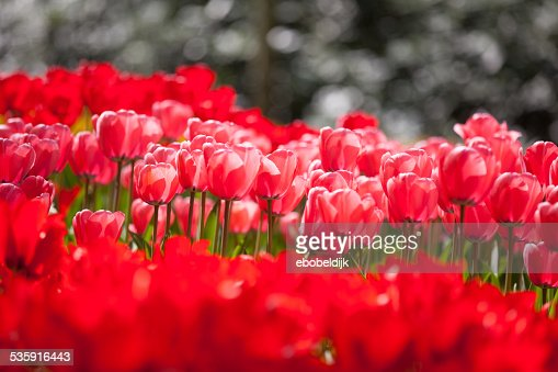 Arrangement of red tulips : Stock Photo