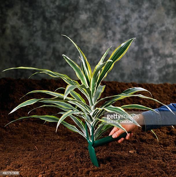 Arrangement of the soil with a little hoe
