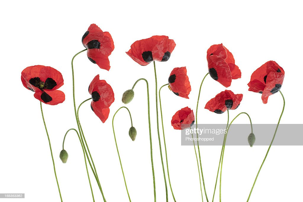 Arrangment of Red Poppies