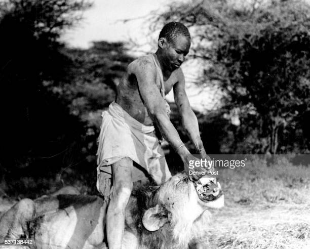 Arrol native Turkana tracker who saw this same lion kill one of his tribesmen spreads the *****show the broken teeth of the man killer of Isiolo our...