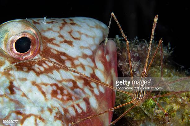 Arrow crab and parrotfish, Belize.