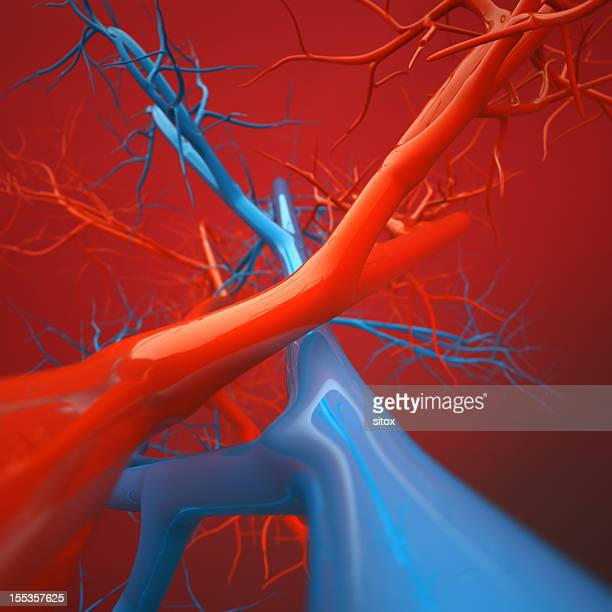 Arteries and Veins