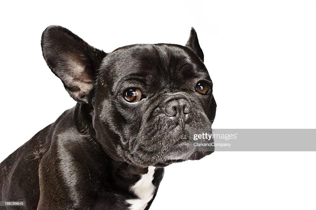 Arthur the Asthmatic French Bulldog